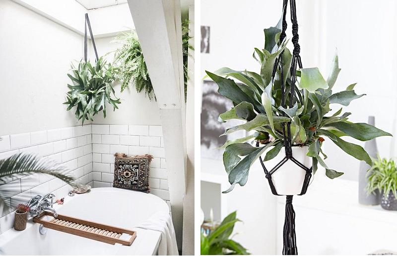 Plantas para banheiro - chifre-de-veado