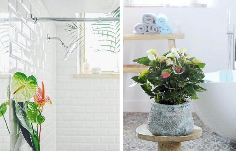 Plantas para banheiro - antúrios