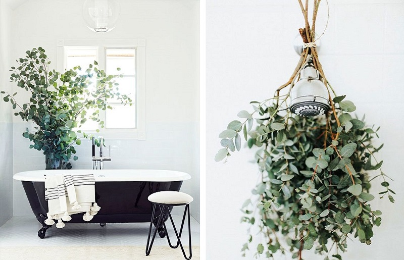 Plantas para banheiro - eucalipto
